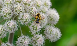 Hoverfly on wild angelica.
