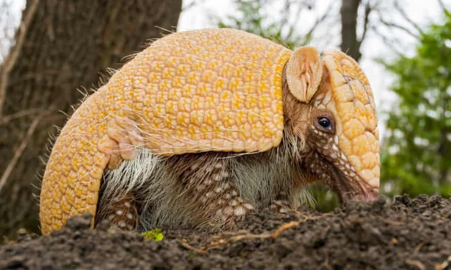 The tatu-bola armadillo was last year reclassified as 'at risk of extinction'.