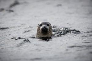 A seal on the Isle of Canna, Scotland.
