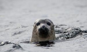 A seal off the isle of Canna