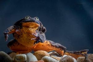Sehuencas water frog