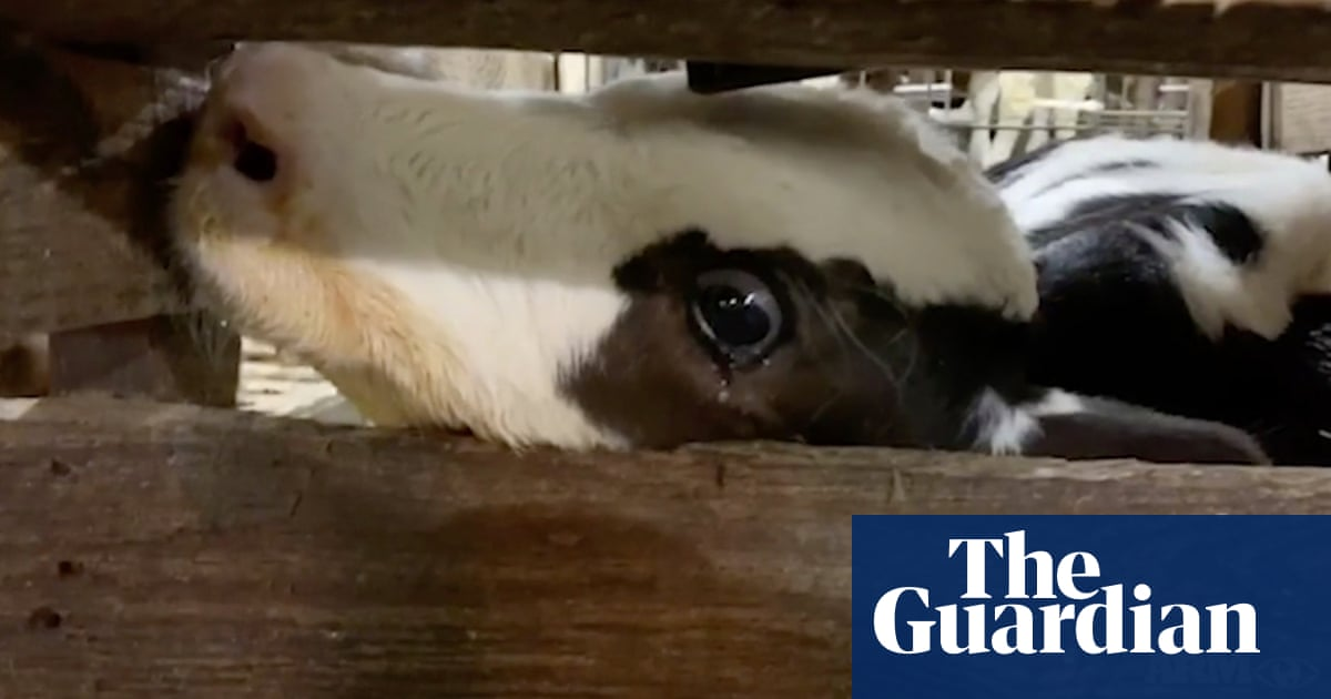 Secret footage exposes abuse of calves at Coca-Cola affiliated dairy farm