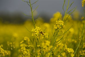 A honey bee sucks pollen and nectar from mustard flowers in Manikganj, on the outskirts of Dhaka, Bangladesh