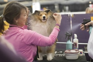 Turner, a Shetland sheepdog, is groomed by Michelle Miller in the staging area