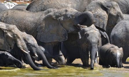 Etosha national park, Okaukuejo waterhole. twenty elephants