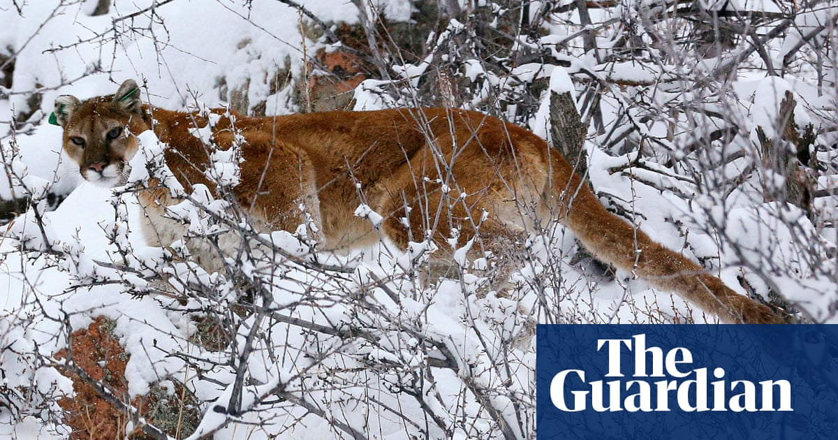 Runner strangled mountain lion after animal attacked him, officials