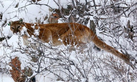 A mountain lion makes its way through fresh snow in the foothills outside of Golden, Colorado.