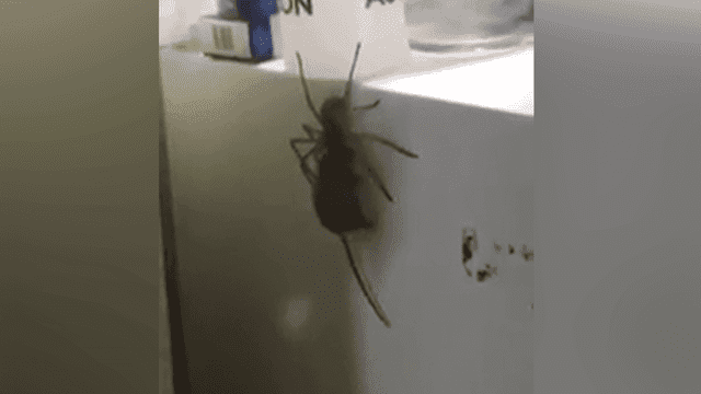 In Australia: giant spider carrying a mouse is horrifying and impressive