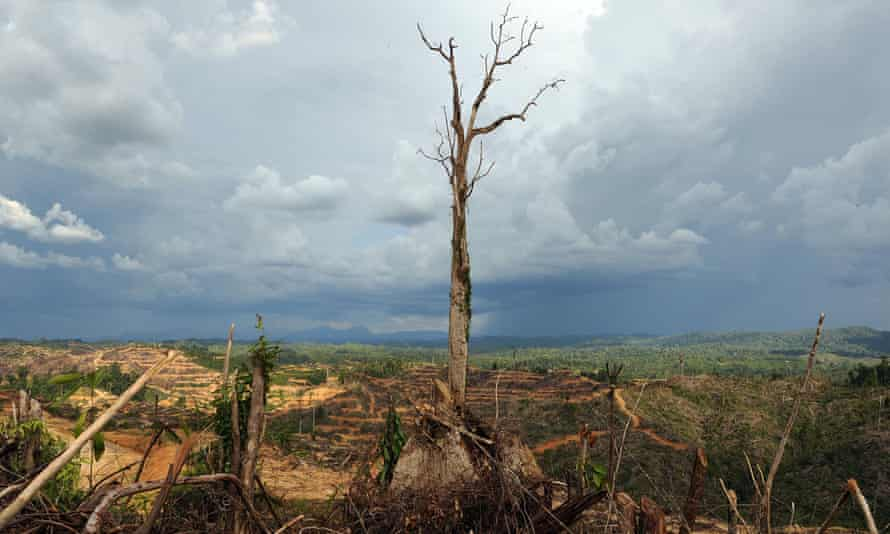 A lone tree stands in a logged area prepared for palm oil plantation near Lapok in Malaysia's Sarawak State.