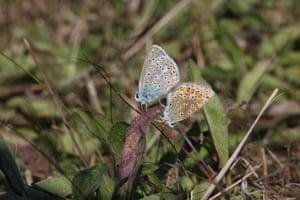 Common blue butterflies mating in Bertrange, Luxembourg