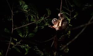 Javan slow loris (Nycticebus javanicus), foraging in the canopy.