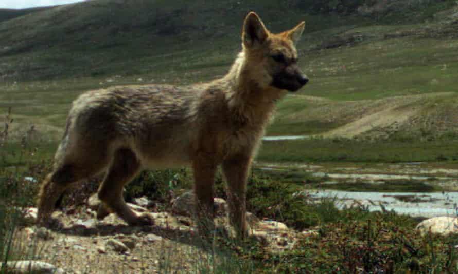 A Himalayan wolf pup