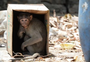 A monkey sits inside a cardboard box to protect itself from the heat on a hot day at Guindy Children's Park in Chennai, India