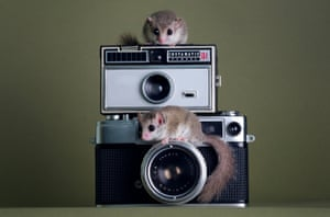 Two African pygmy dormice – also known as micro squirrels – sit on vintage cameras.