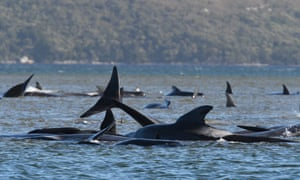 A pod of hundreds of whales, believed to be pilot whales are scattered across two sandbars and one beach at Macquarie Harbour on Tasmania's west coast.