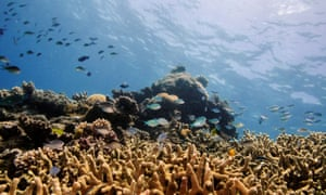 Assorted reef fish swim above a staghorn coral colony as it grows on the Great Barrier Reef
