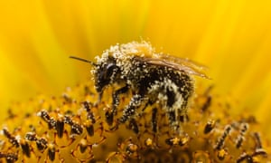A bee collects pollen from a sunflower