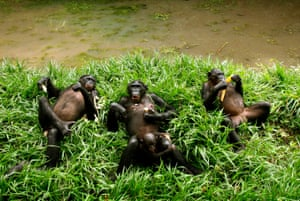 Bonobo apes, a primate unique to Congo and humankind's closest relative, rest at a sanctuary just outside the capital Kinshasa. Scientifically named Pan paniscus, but more commonly known as pygmy chimpanzees, bonobos share 98.4% of their genetic make-up with humans, but are at risk of extinction due to more than a decade of conflict in Central Africa.