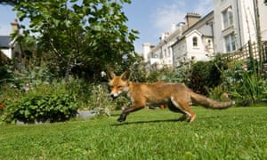 An urban fox in a town garden in daylight.