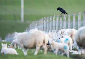 'They perch on our stock fencing almost constantly, looking for opportunities.'