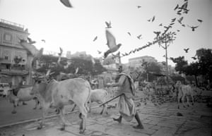"""Passage to India Peace Corps, India, 1966 Cows and Birds """"What made India beautiful, frustrating, and excruciating was the overwhelming feeling of confusion. All the above adjectives could apply and all these conditions could arrive at the same moment."""""""