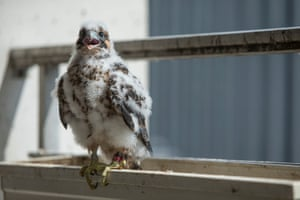 14/06/2015 A peregrine falcon nest diary in Chicago: from brooding to hatching and now fledging.