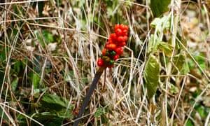 Cuckoo-pint berries in dry grass