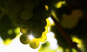 Chapel Down grape harvest