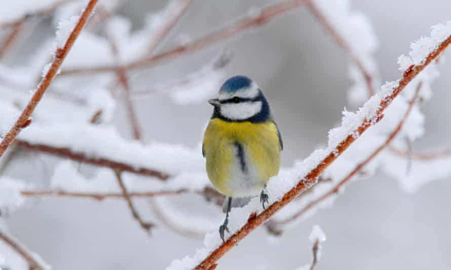 Blue tit on a snow-covered branch