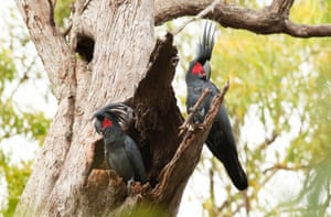 A male palm cockatoo (right) uses a branch as a drum stick in front of a female