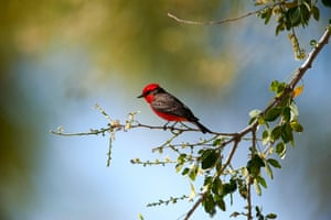 A male vermilion flycatcher perched in a tree in Jocotepec, Jalisco, Mexico.