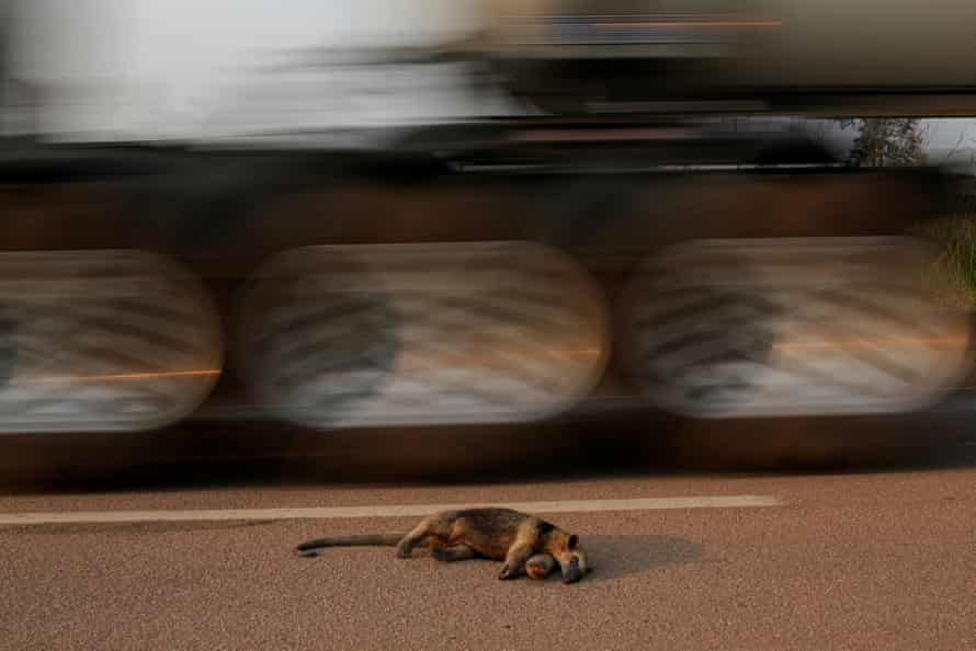 A dead anteater lies on the road near a burning tract of the Amazon jungle, in Rondonia State, Brazil, August 2020.