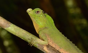 The hump-snout lizard of Sri Lanka.