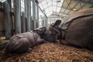 A baby Indian rhinoceros born on 28 August plays with her mother, Henna, at Beauval zoo in Saint-Aignan-sur-Cher, central France