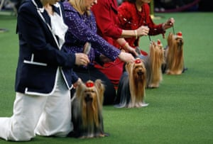 Yorkshire Terriers line up to be judged in best in breed