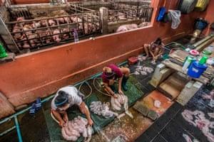Preparing pig carcasses