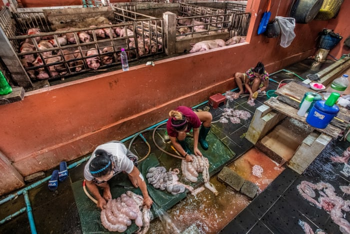 Death by clubbing: the brutality of Thailand's pig