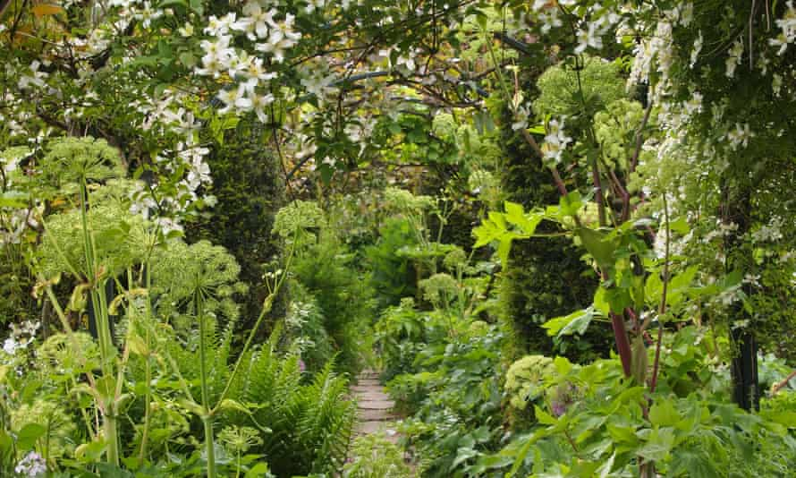 Chenies Manor garden path through arch of white Clematis armandii in late May showing angelica and trained climbing plants.