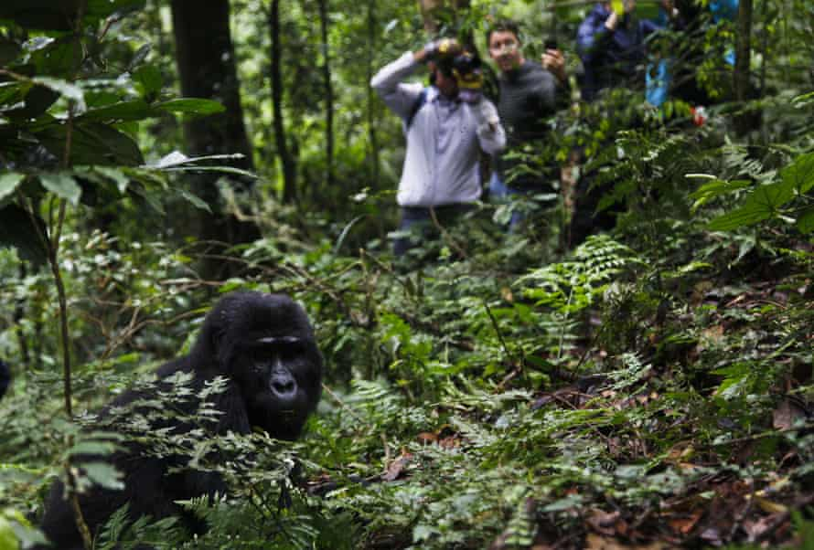 Tourists from Europe and the US photograph the Mukiza mountain gorilla family during a hike through Bwindi Impenetrable National Park , Uganda.