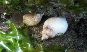 Sea lettuce and whelks