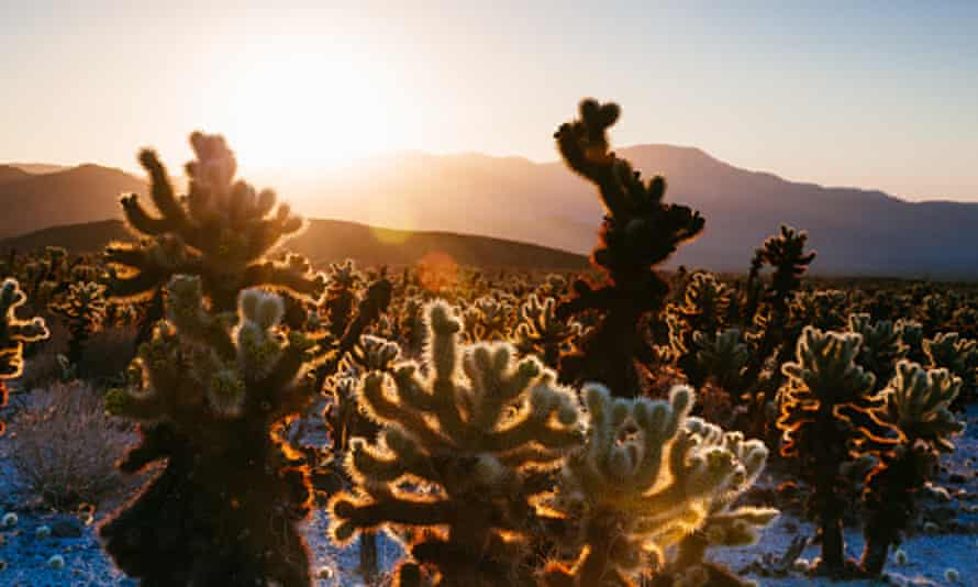 The Cholla cactus garden at sunrise, Joshua Tree national park, California.
