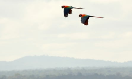 Red and Green macaws flying over Rewa.