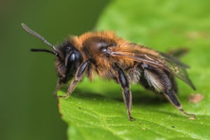 A chocolate mining bee resting on a leaf