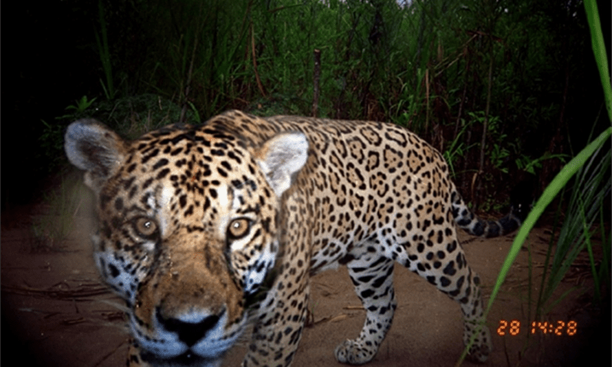 A jaguar caught by camera trap in Madidi national park in Bolivia