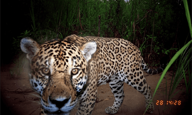 Finding fangs: new film exposes illicit trade killing off Bolivia's iconic jaguar