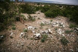 Animal bones in Banderbayla district in the Karkar region in Puntland