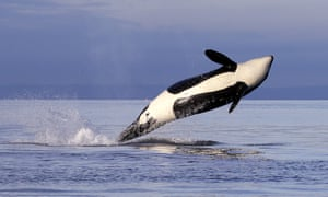 An endangered female orca leaps from the water while breaching in Puget Sound west of Seattle.