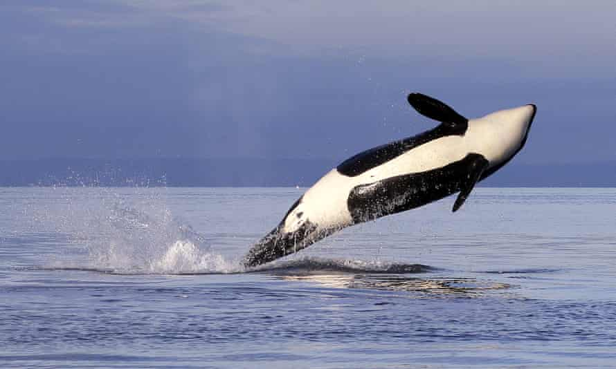 A female orca leaps from the water while breaching in Puget Sound, west of Seattle.