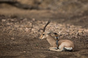 Chinkara or indian gazelle in Ranthambore national park, India