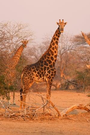 Giraffe at Sango Wildlife Conservancy.